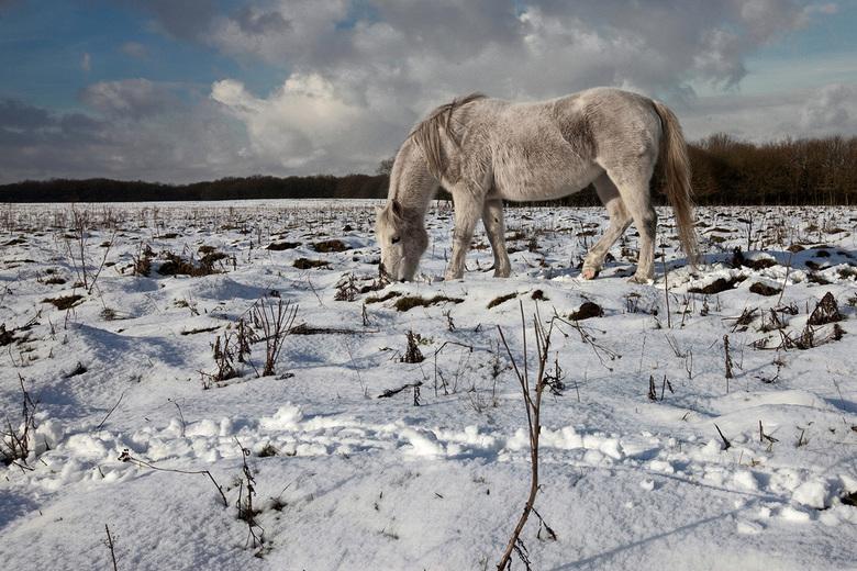 wit op wit - Op de laatste dag van januari kwamen we deze schimmel tegen in een natuurgebied op de Veluwe (Mossel).<br /> Krabbend in de scneeuw op z