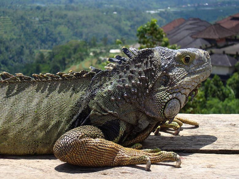 Leguaan - Leguaan op Bali ,lekker warm in het zonnetje