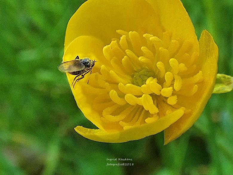 P1030683 - een mooie gele bloem met een insekt met stuifmeel op zijn lijfje.