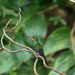 Kolibrie zittend op een tak