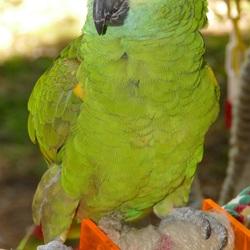 Papegaaienwandeling 25-5-2017: Blauwvoorhoofd Amazonepapegaai Pietje.
