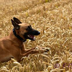 Shepherd jumping grains
