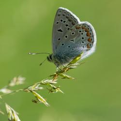 donsje (icarusblauwtje)