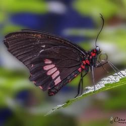''Parides eurimedes'' Vlinder
