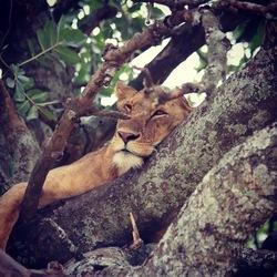 Leeuw in boom