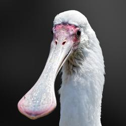 De lepelaar (Platalea leucorodia) is een vogel uit de familie der ibissen en lepelaars.