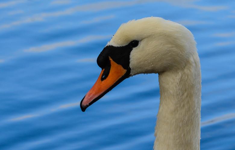 Hydrophobic Swan - Na bezichtiging aan de Abdij in Leuven, een rondje om het park gewandeld. Hier kwamen we een groep zwanen tegen die zich mooi liete