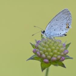 staartblauwtje
