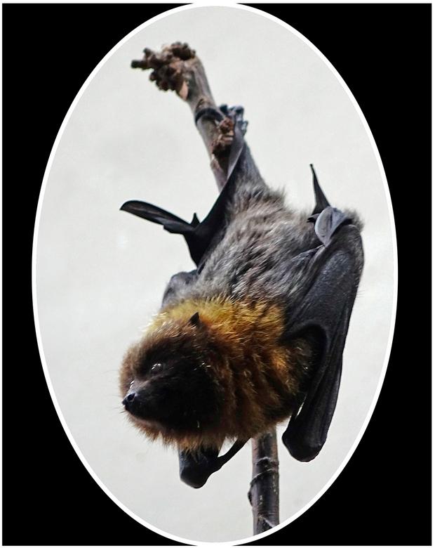 Vleermuis - Geen geweldige opname, maar ze zijn moeilijk te fotograferen. Deze hing in het apenhuis in Artis. gr. Nel