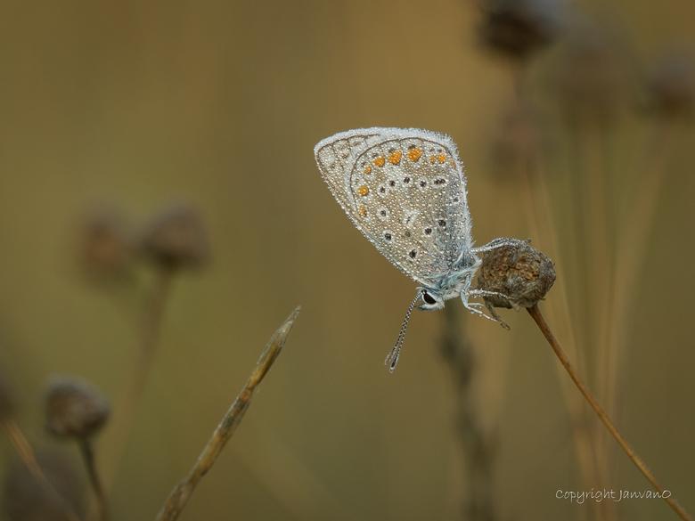 Shines like a diamond - Dauwopname van een Icarusblauwtje, shines like a diamond.<br /> <br /> Voor meer detail, om de diamanten te zien, klik dan o