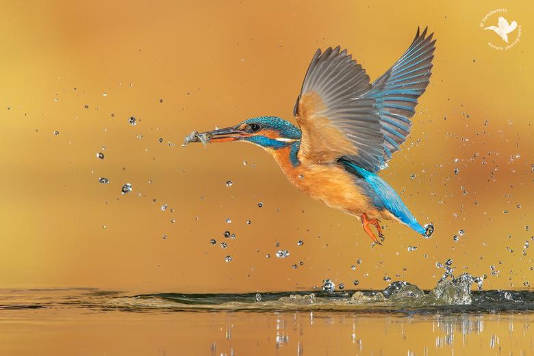 Synchroon ... - Een ijsvogel met twee visjes in zen bek zie je vrij regelmatig. En het is echt echt geen knip en plakwerk hoor! Maar kunnen ze nog mee