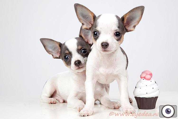 Piece of cake.... - Deze twee puppies zijn Chihuahua's...