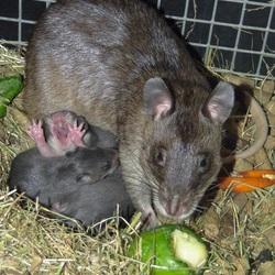 Gambia Hamster-rat met 3 jonkies, waarvan er eentje gaapt, 4 april 2014.