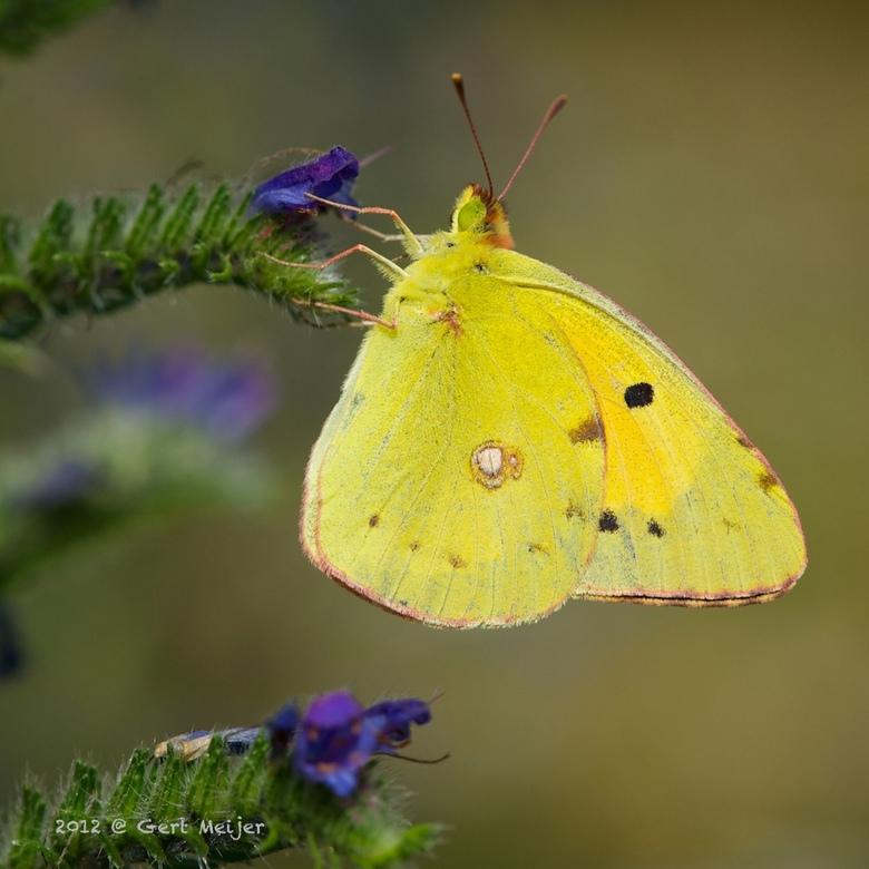 Luzernevlinder ... - Afgelopen zomer, een Luzernevlinder. Ik heb geen idee of het de gele of oranje versie is, wie wel ?