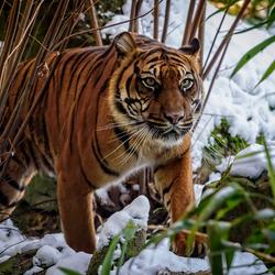 Sumatran tiger in the snow .
