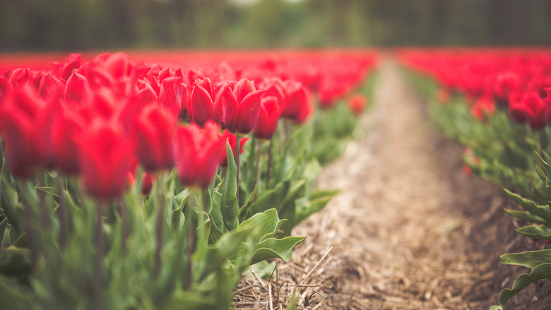 Rode tulpen -