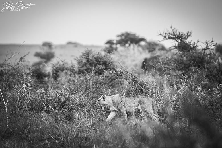 A Lion is on the Move - Deze prachtige leeuwin kwam onverwachts de bosjes uit gelopen op weg naar de rest van haar troep voor een heerlijke snack. Het