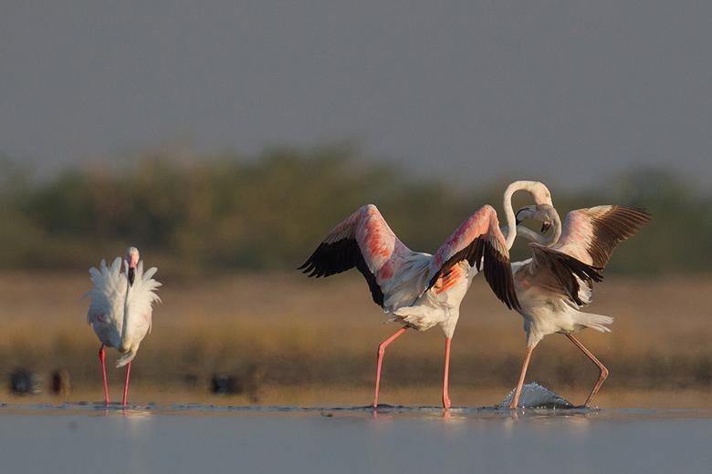 Flamingo's in gevecht -