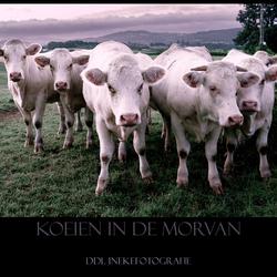 Koeien in de Morvan