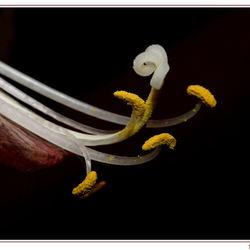 Uitgebloeide amaryllis