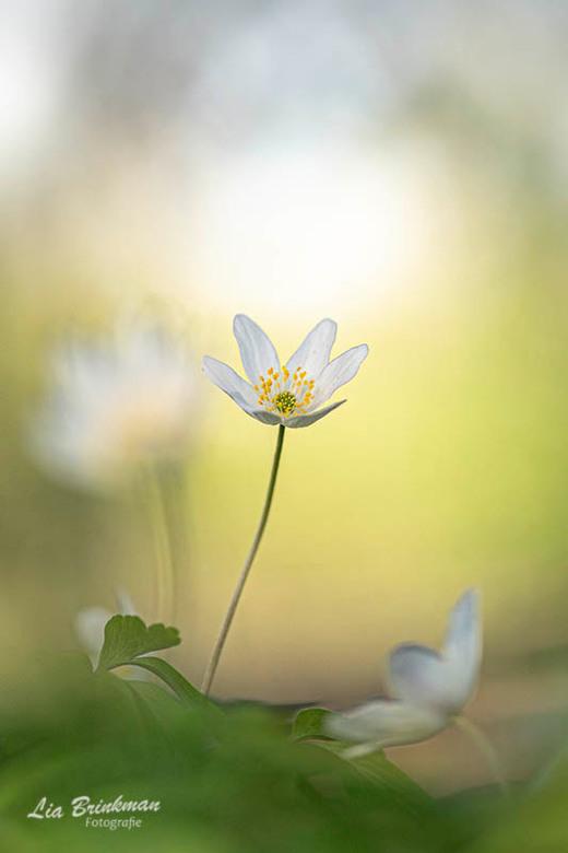 dance in the light - Dance in the light, De laatste anemoontjes lijken hier wel te dansen in het mooie ochtend licht. Sierlijke anemoontjes. Na de hag