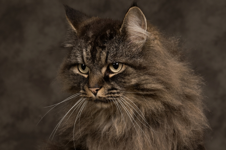 Maine Coon  - Maine Coon.