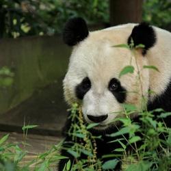 Xing Ya mannetjes panda ouwehands dierenpark