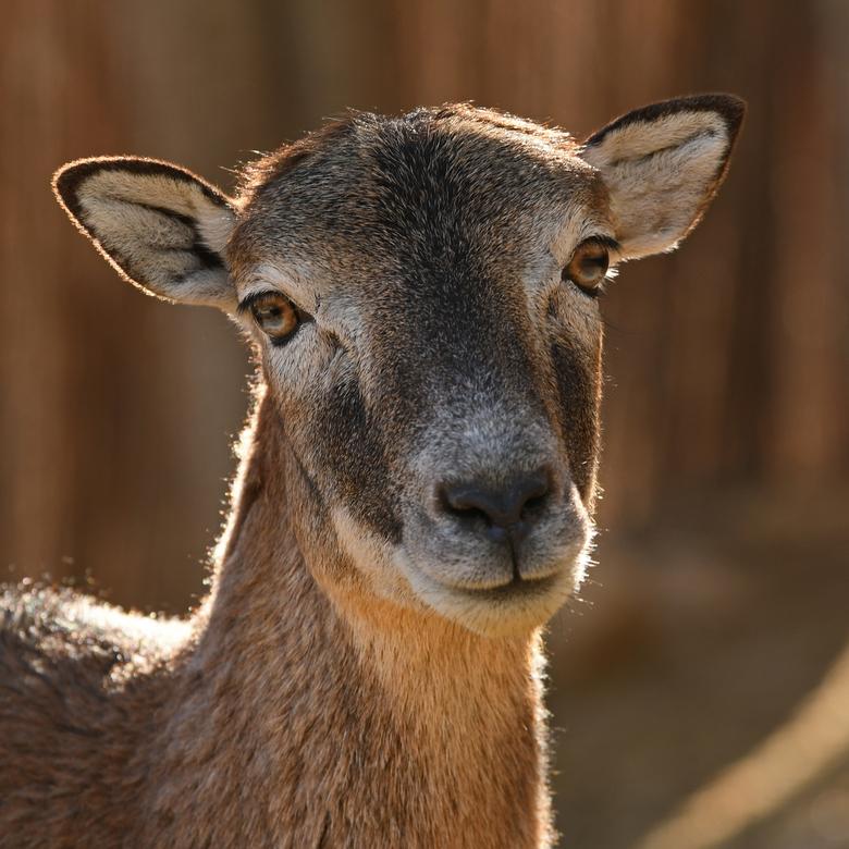 seksuele dimorfie #5 - Moeflons zijn de kleinste soort van de wilde schapen. De rammen hebben lange gekrulde horens, die naarmate de ram ouder wordt l