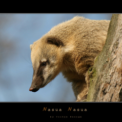 Nasua Nasua