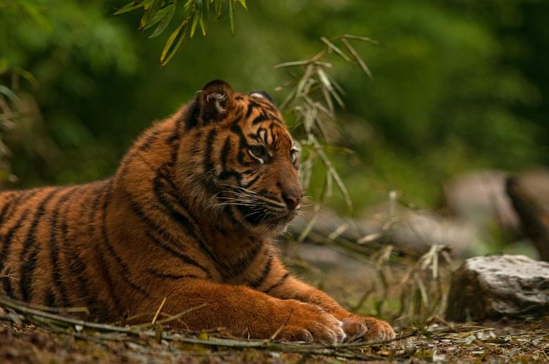 Tijgertje - Ze zijn niet meer zo klein, de tijgertjes van Blijdorp. <br /> <br /> Hier een plaatje van Gio -of  Vanni?  <br /> <br /> Prettige avo