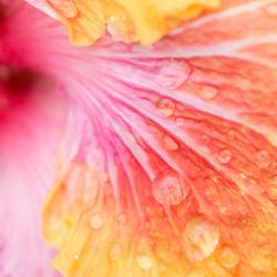 Chinese roos met regendruppels