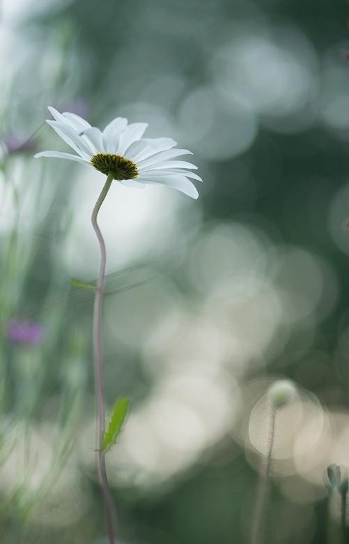 Margrietje - Een zomerbloemetje om deze sombere en natte vrijdag wat op te vrolijken.<br /> Fijn weekend!