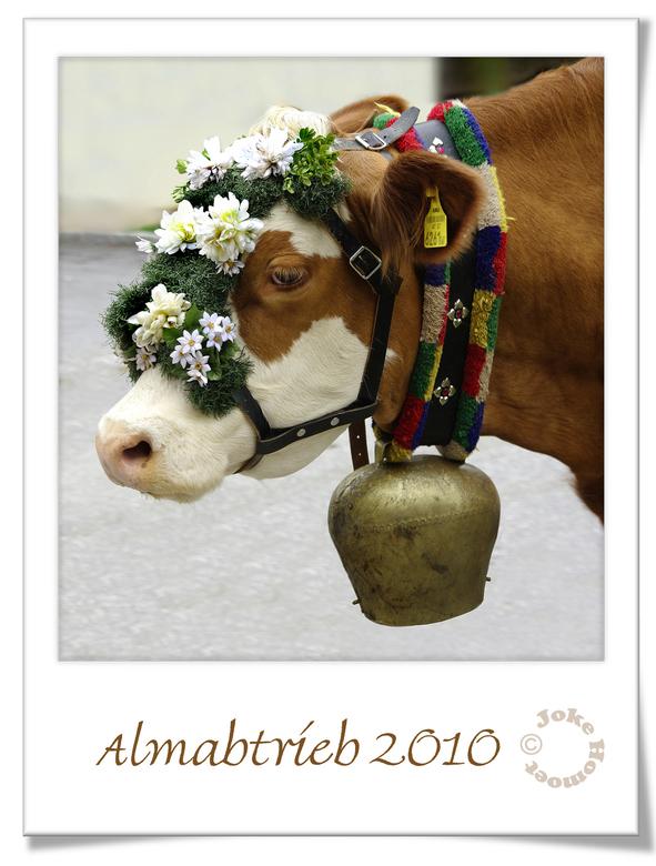 Almabtrieb - De koeien in Tirol zijn weer afgedaald van de bergen en prachtig versierd de dorpen ingelopen om de stallen op te zoeken. Luid gebeier va