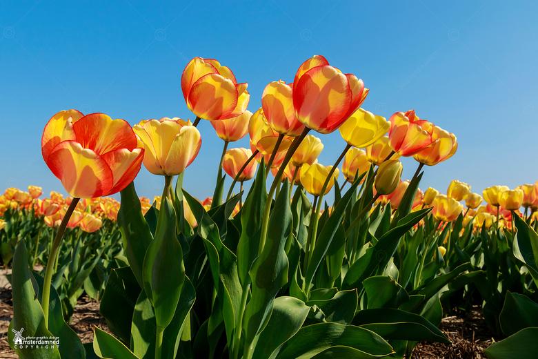 Bloembollenvelden - De tulpenvelden bij Voorhout in de bollenstreek.