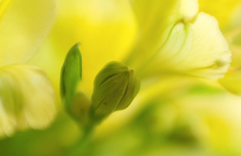 Alstroemeria - Ben ik weer, ff druk gehad met van alles en nog wat. Tussendoor wel bezig geweest met de blomkes op mijn tafel, waarvan dit er ene is.<