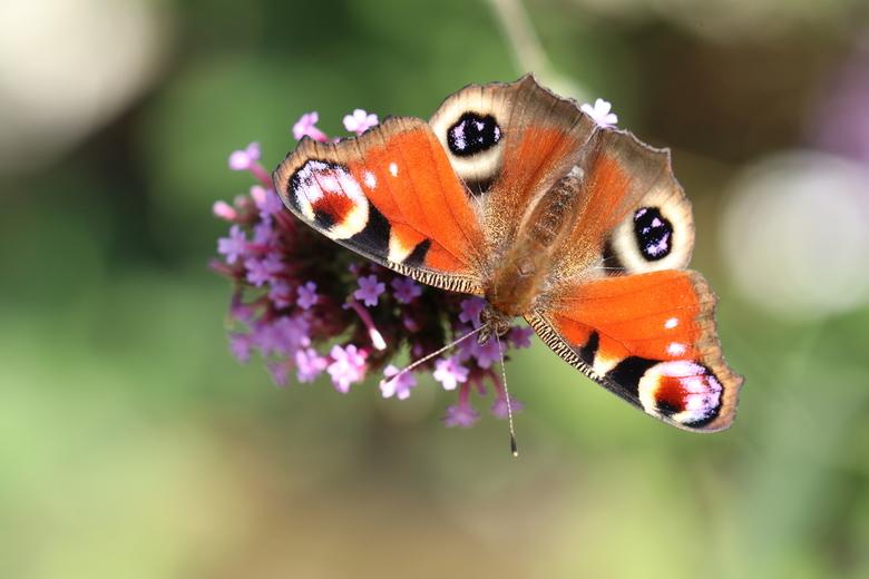In oog  - Dagpauwoog 2.0. <br /> De dagpauwoog is een van de bontst gekleurde en bekendste soorten vlinders in Europa.  Hier kon ik er even van genie
