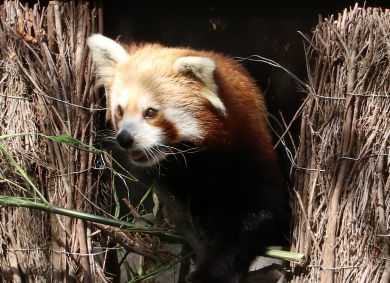 Rode panda dierenpark Rhenen -