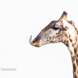 Brutale giraffe