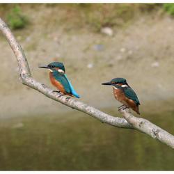 2 IJsvogels gebroederlijk naast elkaar