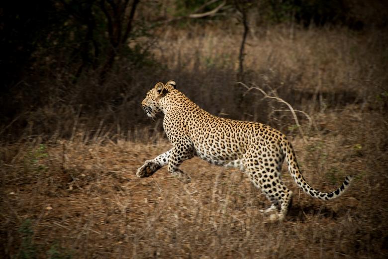 Cat'walk' - Even uit haar schuilplaats om een vogel bij haar prooi weg te jagen.