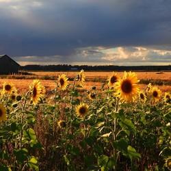 zonnebloemen nog lekker zomers