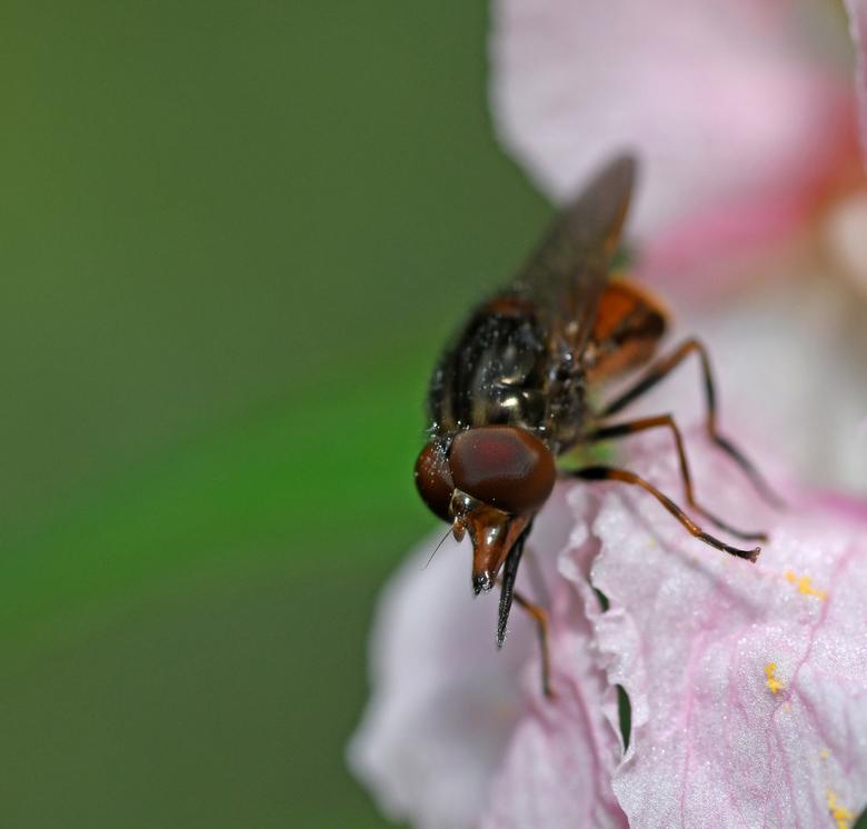 snuitje - Ik was op zoek naar hommels in een reuzenbalsemien-bloem. Toen vond ik deze vlieg. Volgens de Bellmann is het een gewone snuitvlieg. Gewoon