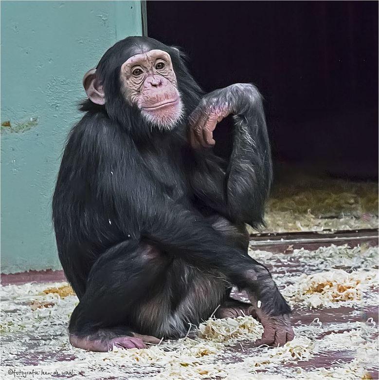 chimpansee 14