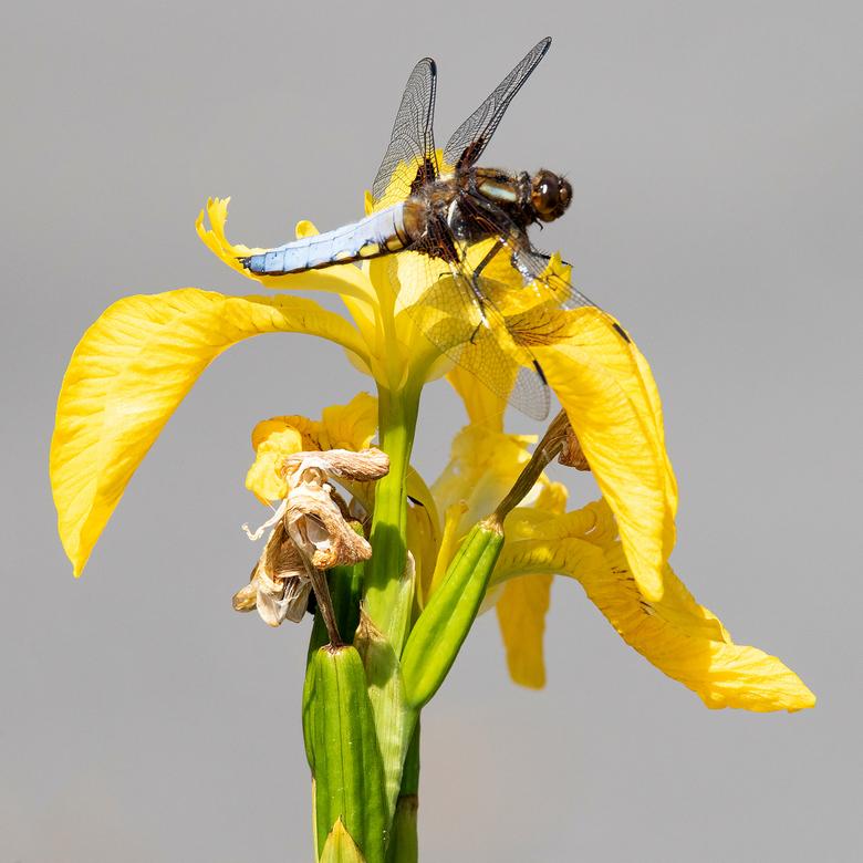 _F5A0338b - Niet een heel spannende foto, maar wel genieten van een libelle bij de vijver.