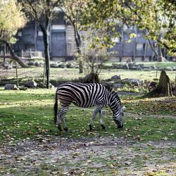 Een zwartwitgestreepte zebra