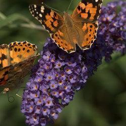 vlinderstruik achtertuin