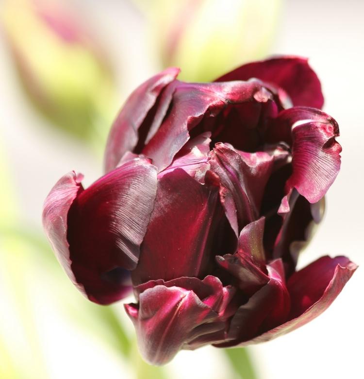 Tulp - Fotosessie in de tuin met bos tulpen in vaas,<br /> 28 april.