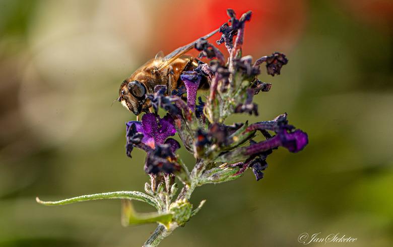 Zweefvlieg/Blinde Bij op bloem vlinderstruik - Zweefvlieg/Blinde Bij nectar verzamelend  vanaf een vlinderstruikbloem.