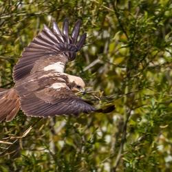 Bruine kiekendief met nestmateriaal