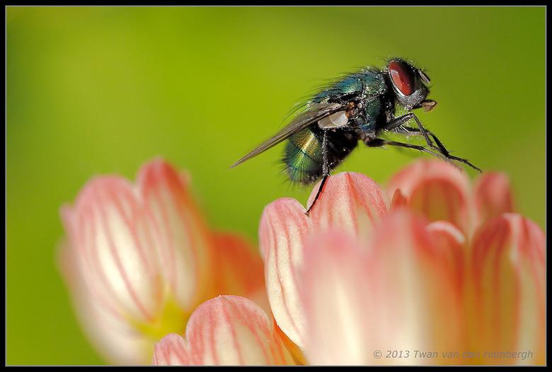 Vlieg.jpg - Macro van een vliegje op een plant in de tuin.